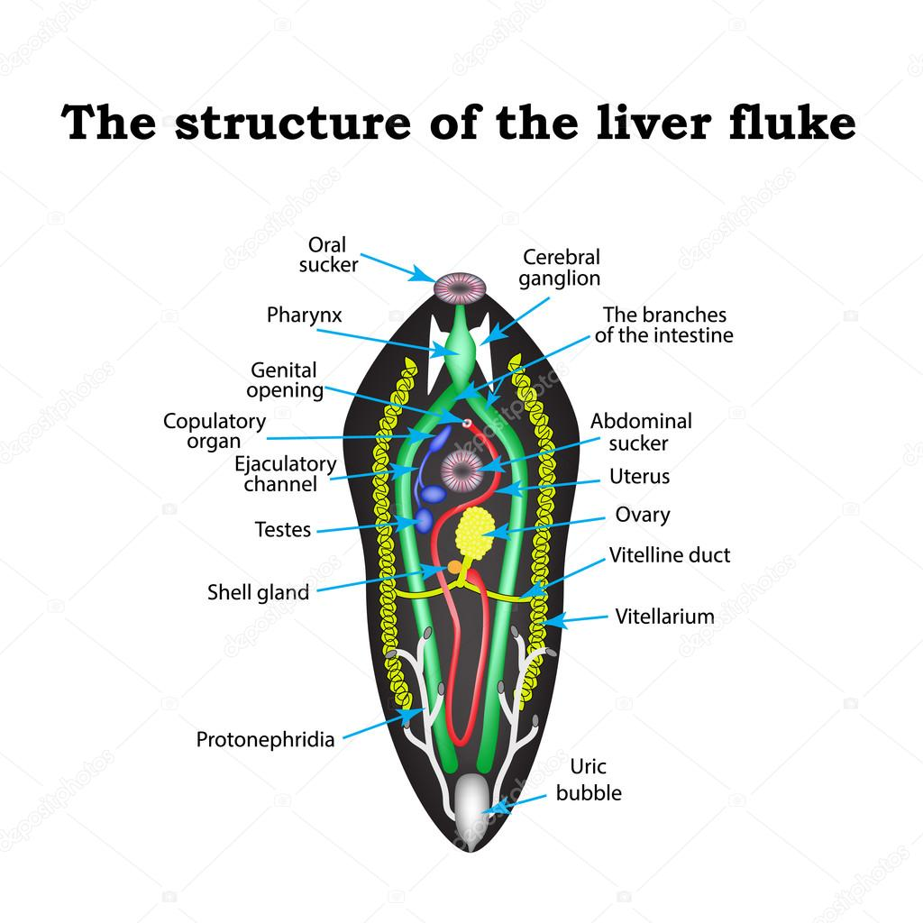 The Structure Of The Liver Fluke Infographics Vector Illustration