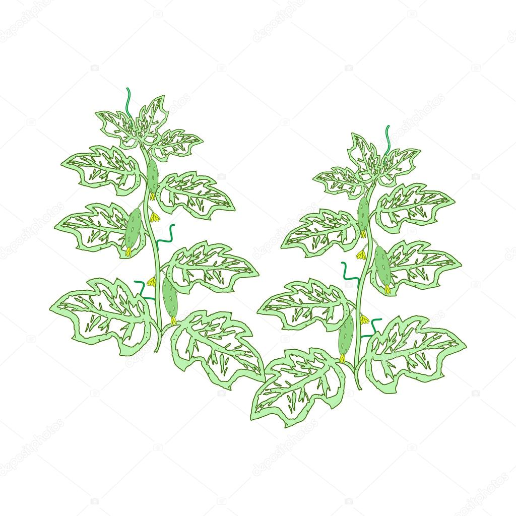 Cucumber plants with leaves, flowers and cucumbers drawn by hand