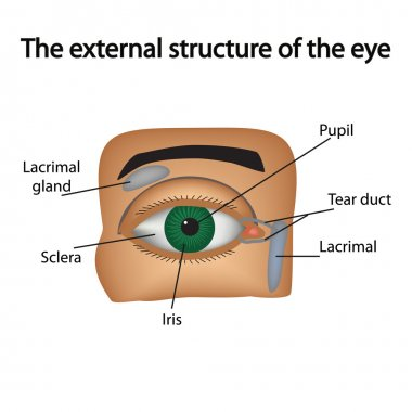 The external structure of the eye. Vector illustration..