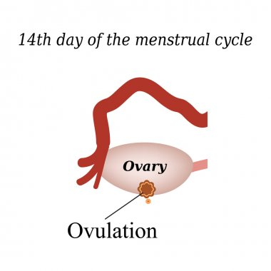 14 day of  the menstrual cycle - ovulation. Vector illustration on isolated background