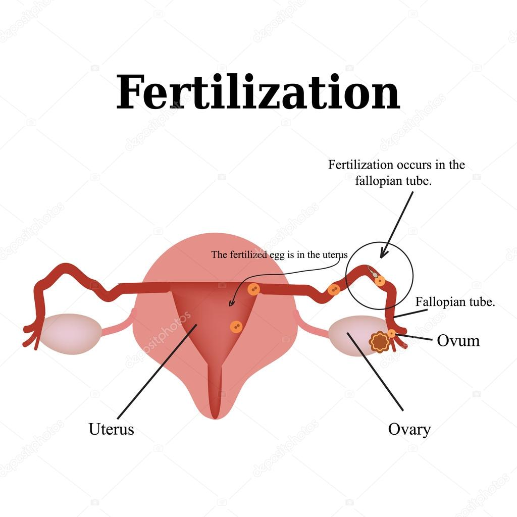 Diagram of the structure of the pelvic organs fertilization diagram of the structure of the pelvic organs fertilization vector illustration on isolated background pooptronica Choice Image