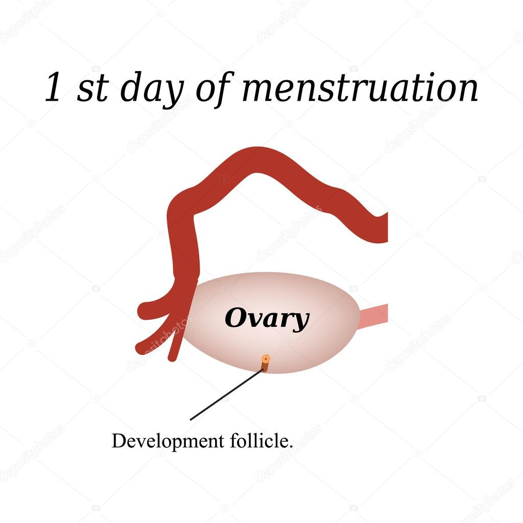 The First Day Of Menstruation The Development Of Follicles In The