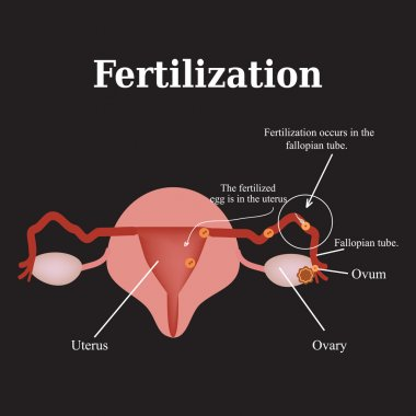 Diagram of the structure of the pelvic organs. Fertilization. Vector illustration on a black background