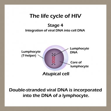 The life cycle of HIV. Stage 4 - The double-stranded viral DNA is incorporated into the DNA of a lymphocyte. World AIDS Day.