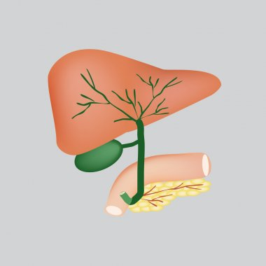 The anatomical structure of the liver, gallbladder, bile ducts and pancreas. Vector illustration on a gray background