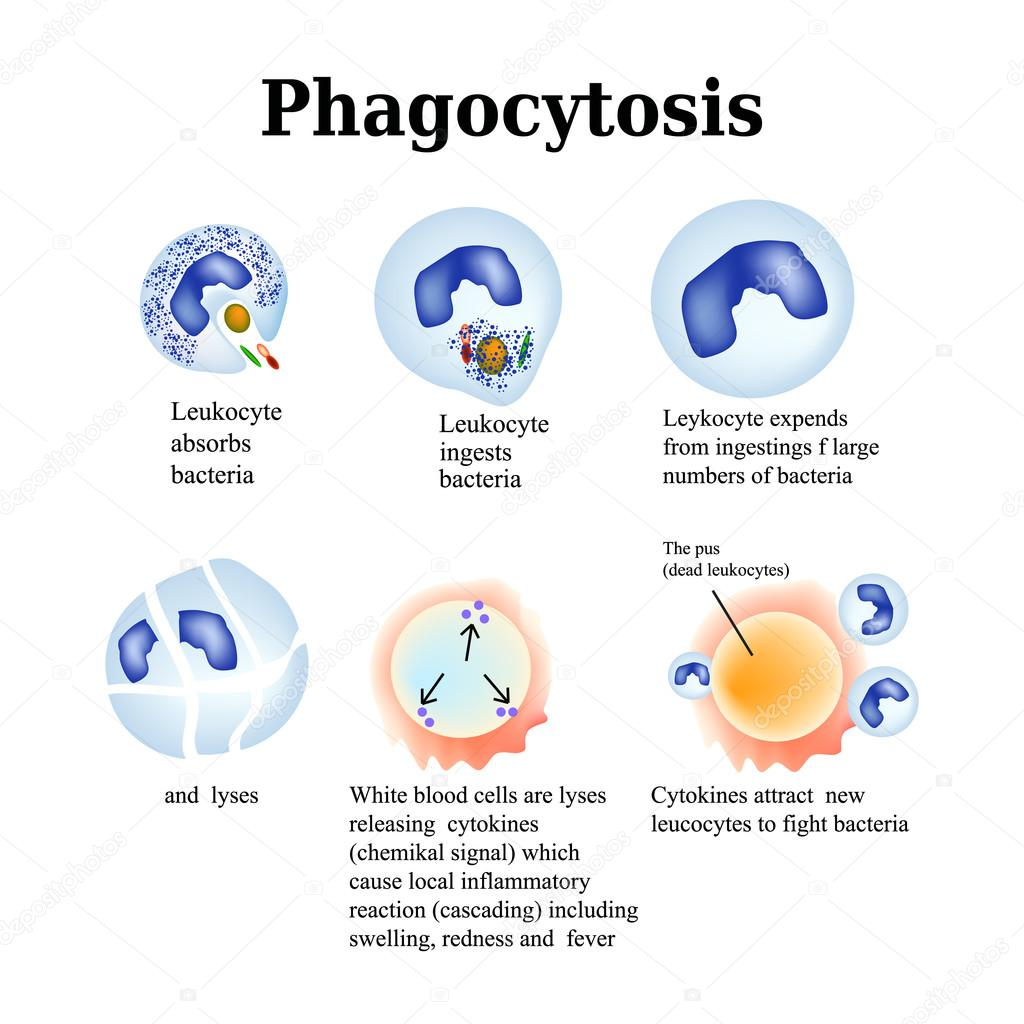 Phagocytosis  The Process Of Destroying Bacteria By Leukocytes  Vector Illustration Isolated On