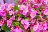 Pink Crown of thorns flowers (Euphorbia milli Desmoul)