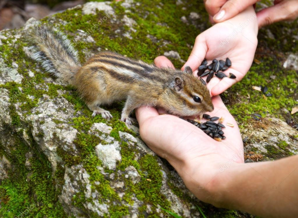 Child Hand Feeding Chipmunk