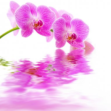 Pink orchid water reflection