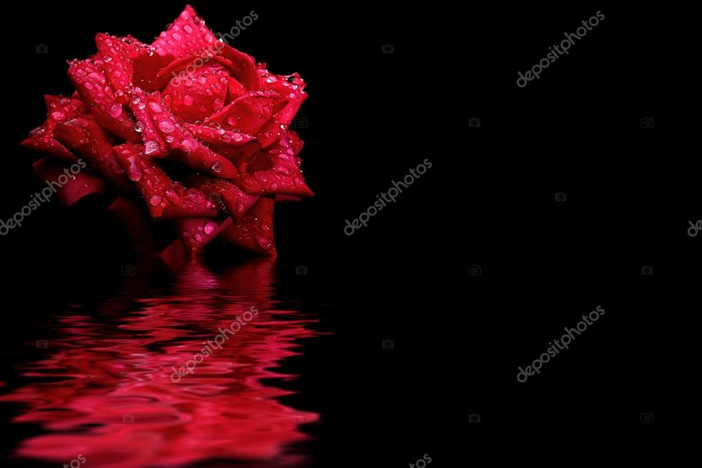 Red rose water reflection