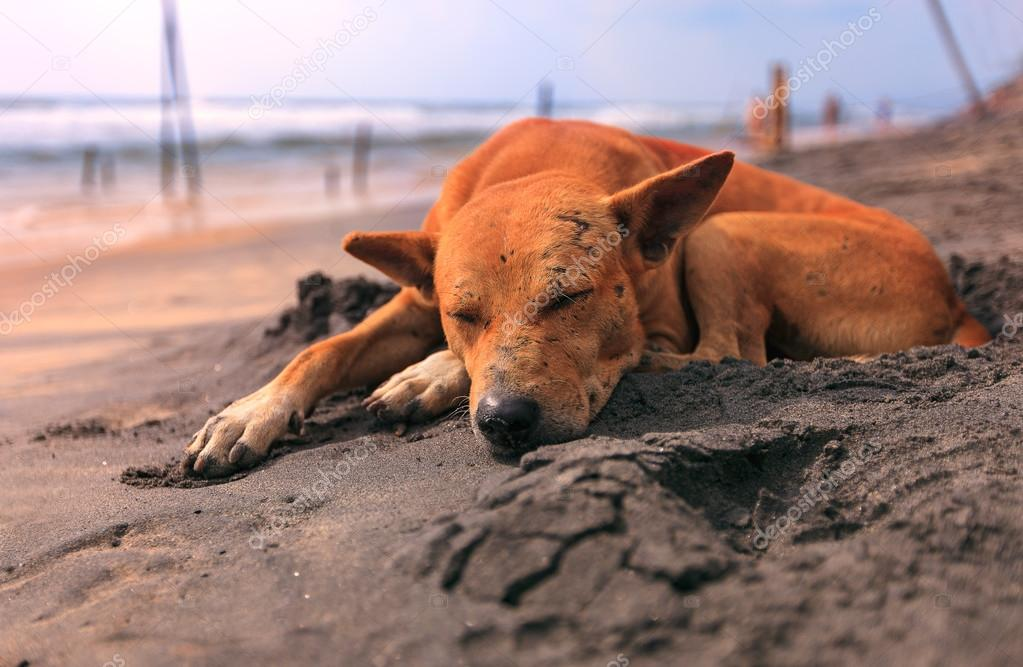 Sad stray dog sleeping on the beach