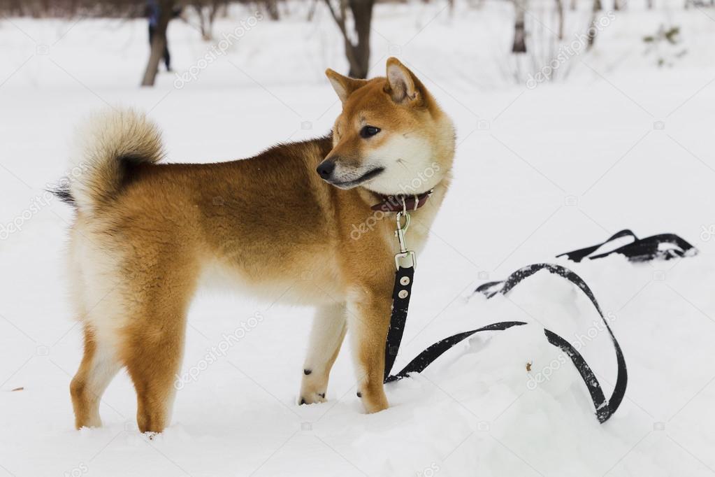 Shiba Inu Similar Dog Breeds