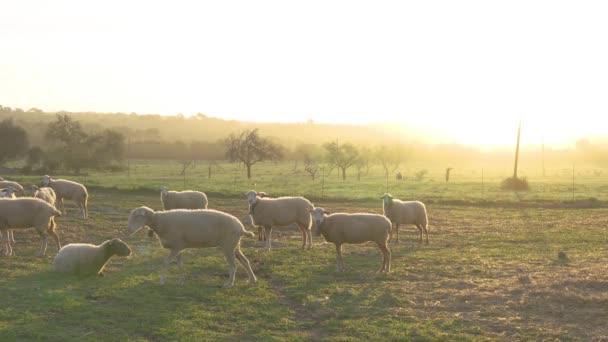 Ovce pasoucí se za úsvitu na poli zelené trávy. Mallorca, Španělsko