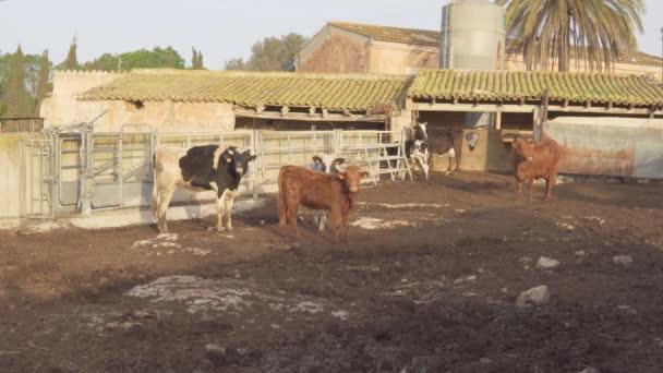 Eine Gruppe von drei Kühen (Bos taurus) an einem sonnigen Morgen auf der Insel Mallorca. Spanien
