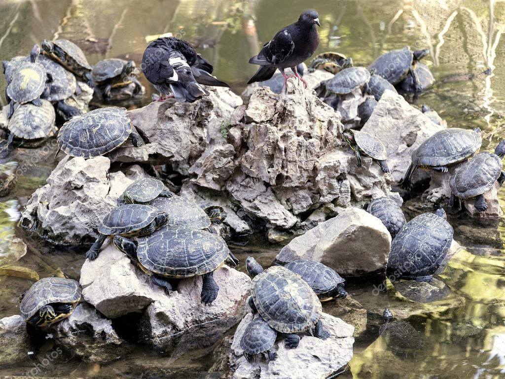 pigeons and turtles