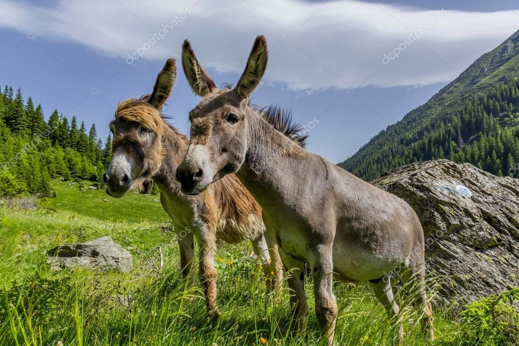Beautiful couple of donkeys staying in the wind on the high mountains