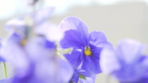 purple flowers in the wind close up Viola wittrockiana