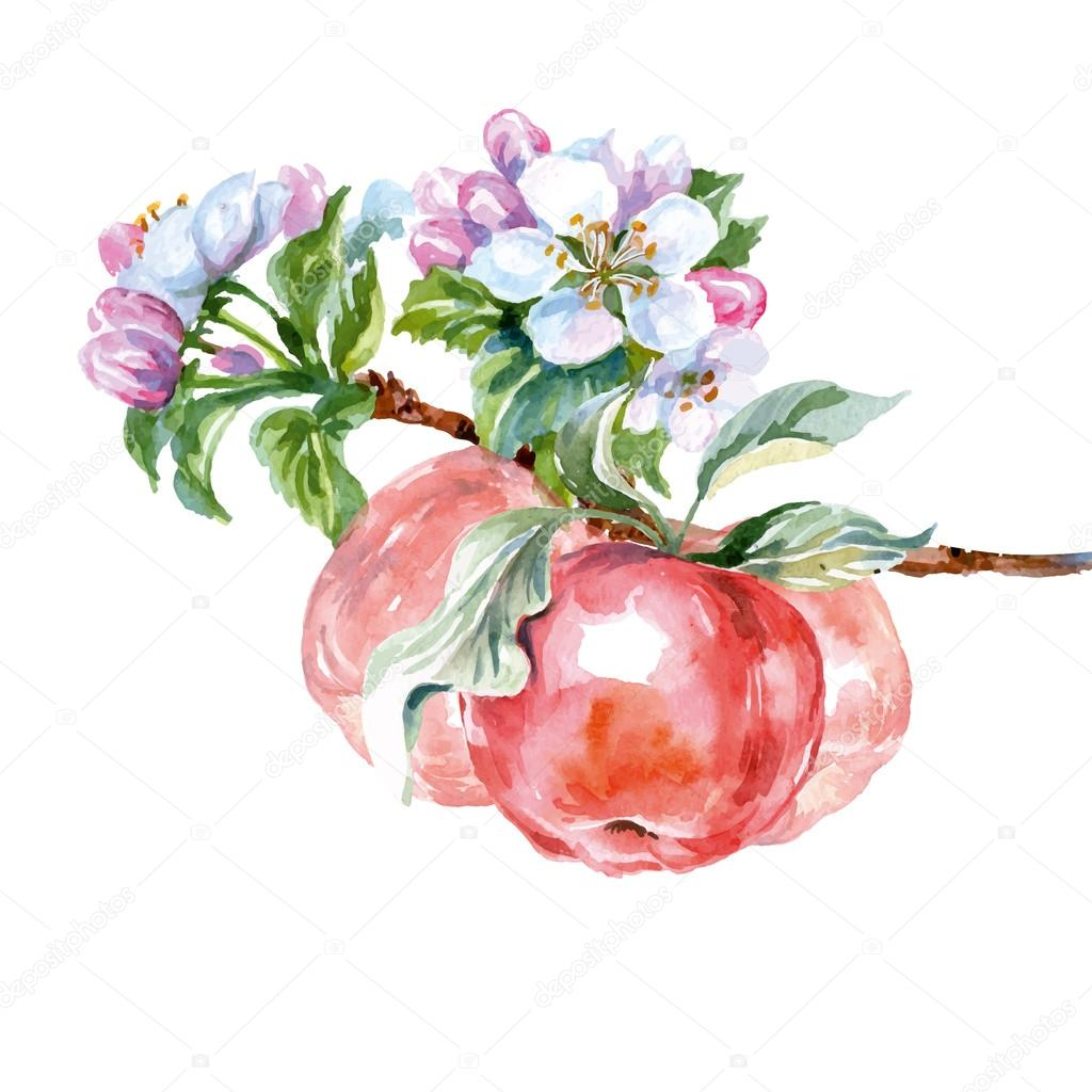 Watercolor apple tree branch with flowers and apples. Spring background. Vector illustration