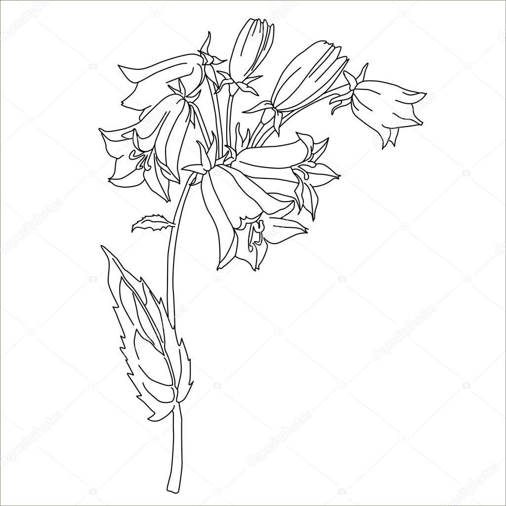 Hierbas y flores silvestres. Botánica. Vintage flor de campanilla ...