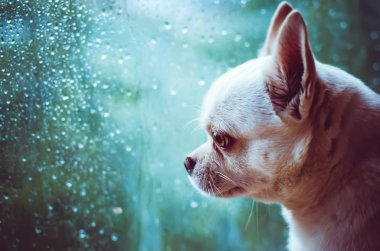 Chihuahua sad dog at the window