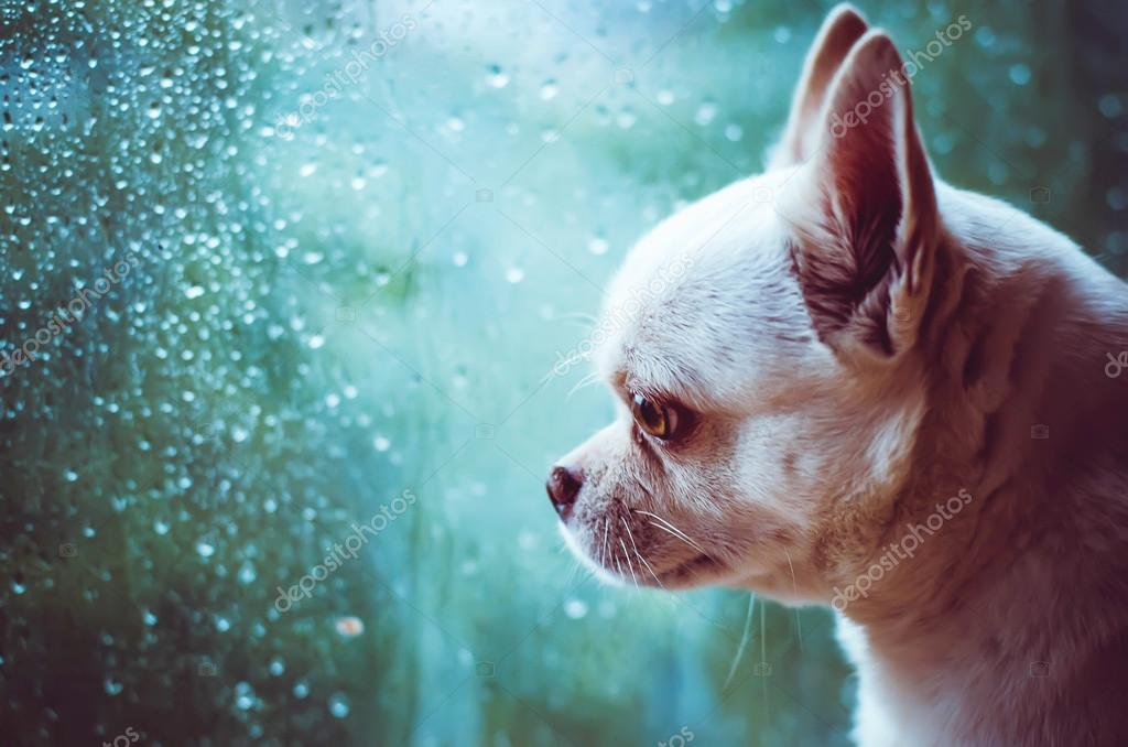Chihuahua sad dog at the window