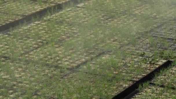 Automatische Bewasserung Und Kiefern Der Pflanzen Im Gewachshaus