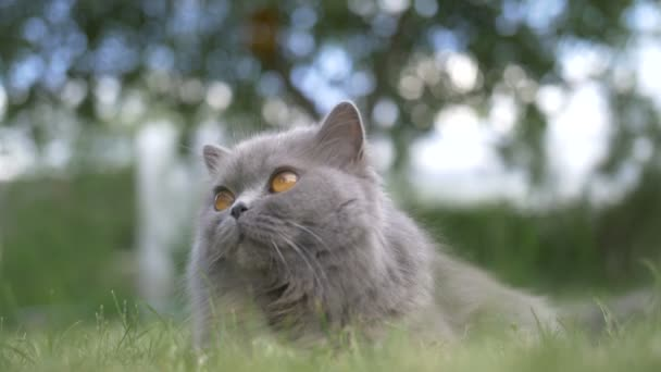 British cat lying on the grass outdoors