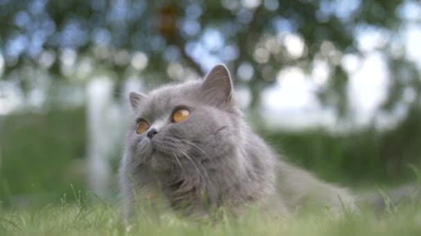 Britská kočka ležící na trávě venku