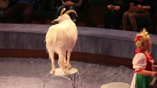 Goat in the circus