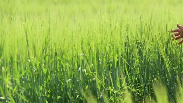 Chlapec jde a vede k pěstování pšenice