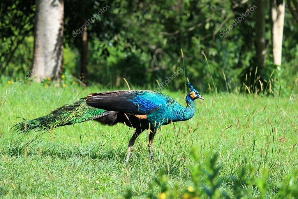 Thailand peacock