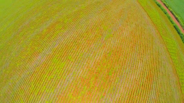 Soybean Plantation in Goias