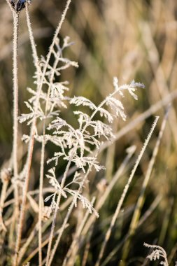 frosty grass in winter