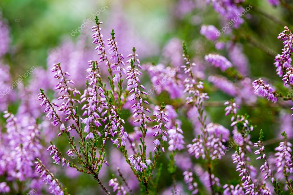 Forest heather flowers and blossoms in spring stock photo forest heather flowers and blossoms in spring stock photo mightylinksfo