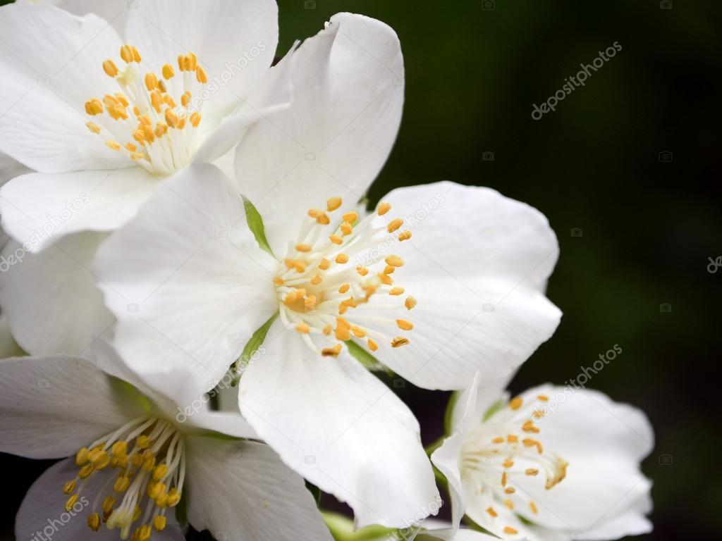 fleurs de saison blanches de jasmin arbuste de jardin — photographie