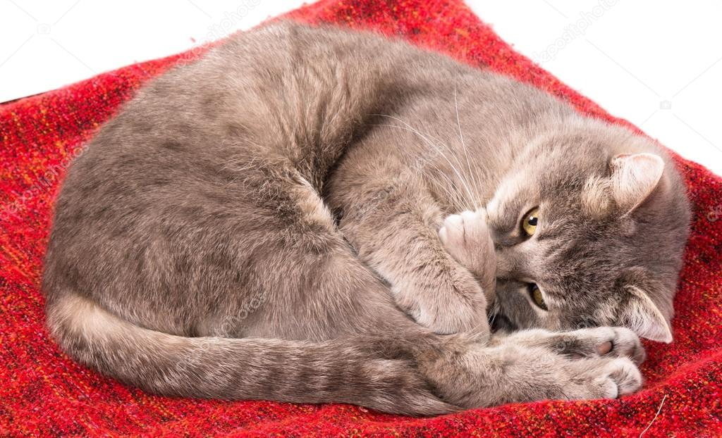 https://st2.depositphotos.com/3844363/9216/i/950/depositphotos_92165524-stock-photo-the-gray-cat-curled-up.jpg