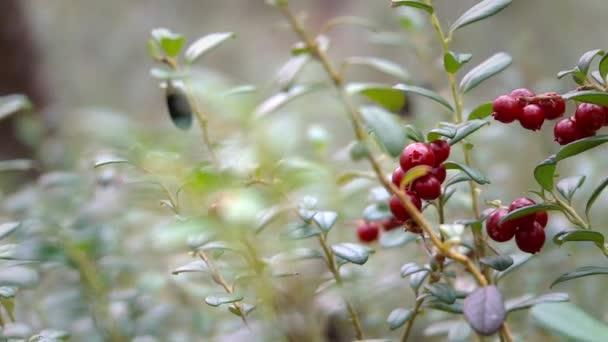 Plody brusinek v severní Les
