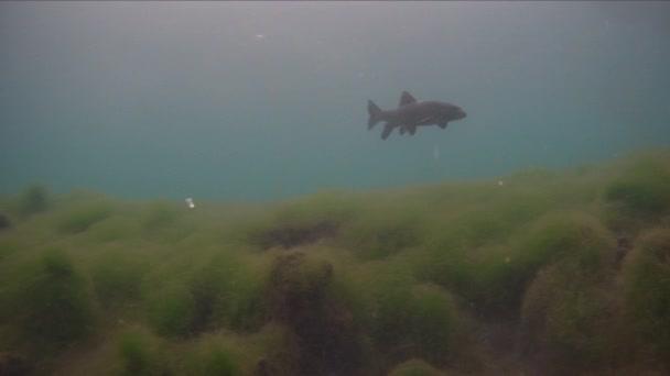 Barbel obecný, Barbus Barbus sladkovodní