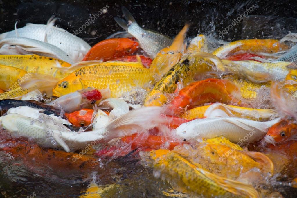 Fantaisie carpe carpe miroir poisson dans la piscine for Poisson carpe