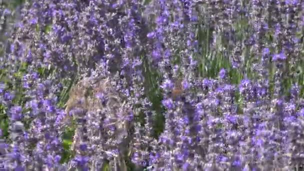 Lavender Field. Lavender Flowers.