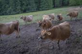 Heiligenstein, Frankreich - 09 01 2020: Herde Jersey-Kühe auf einem Feld