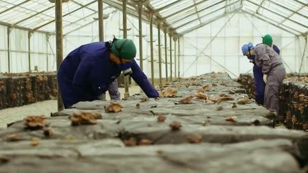 Munkavállalók összegyűjteni a farm gomba
