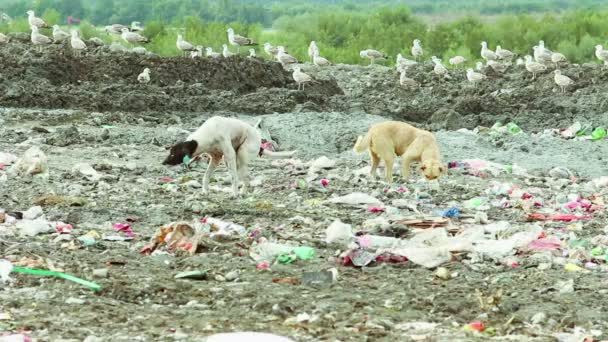Dogs and flock of birds on Garbage dump