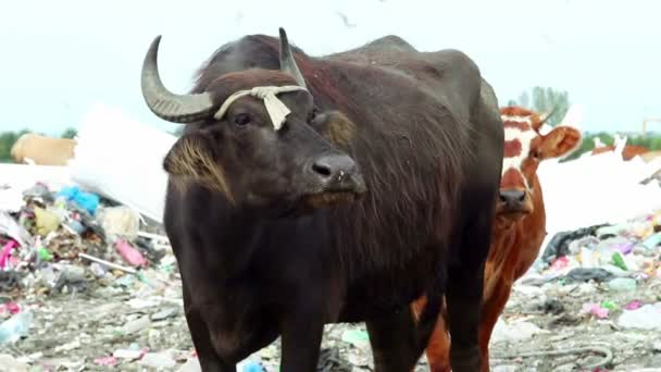 Two cows stands in dump