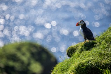 Atlantic Puffins on cliffs