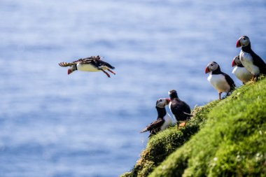 Beautiful vibrant picture of Atlantic Puffins on cliffs