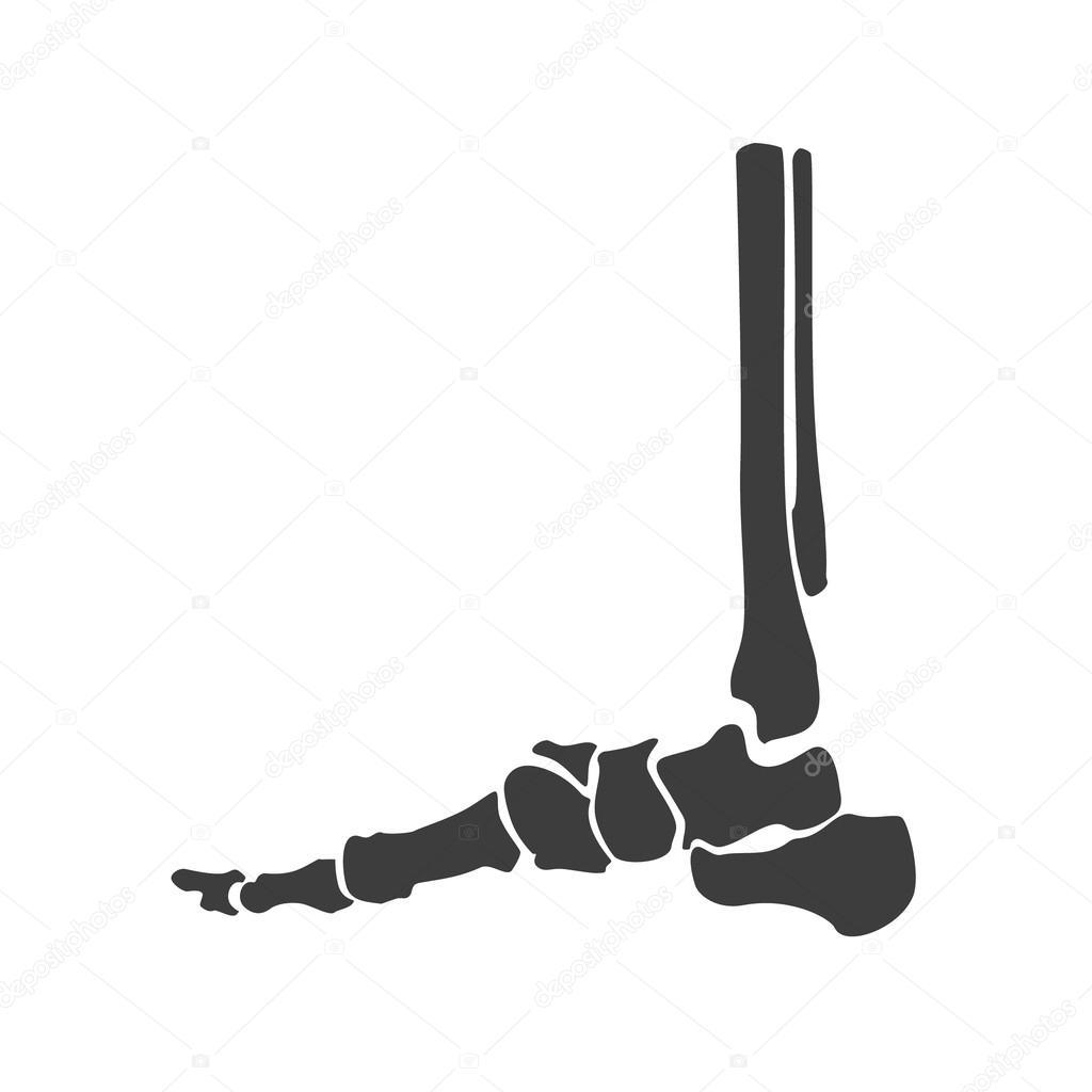 Fuss Knochen Anatomie — Stockvektor © viktorijareut #106466080