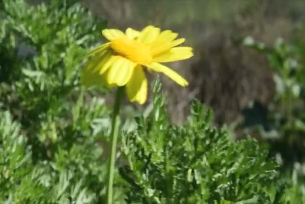 Žluté jaro sedmikráska vane vánek