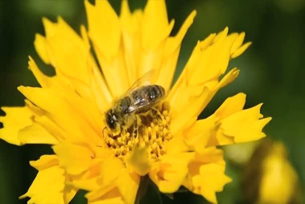 Včela opyluje sedmikrásky žluté jaro