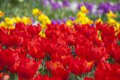 A virágzó piros tulipán